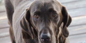 chocolate-lab-pet-photography